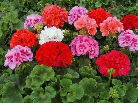 Не думайте, что герань – исключительно комнатное растение. Этот цветок будет радовать почти весь сезон, если высадить его в землю или в вазоны.