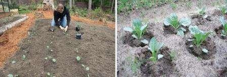 После проведения пикировки горшки с капустой помещают в теплое помещение и продолжают дальнейший уход за сеянцами.