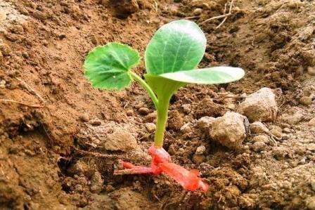 Время посадки любого растения напрямую зависит от климатических особенностей местности. Важно, чтобы уже прошел период заморозков, и воздух хорошо прогрелся. Несмотря на то, что погодные условия отличаются каждый год, огородники рекомендует высаживать семена кабачков в период конец мая – начало июня.