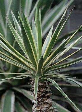 Еще один вид пальмы, которая подходит для выращивания дома - Юкка алоэлистная. Она имеет листья на верхней части мечеподобные, остальные идут ланцетные, либо ремневидные