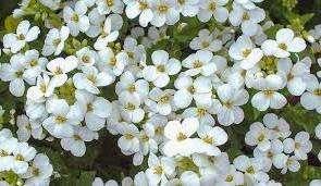 У садоводов популярностью пользуется также альпийский арабис, который привлекает ранним цветением – в апреле. Еще один вид – фердинанда Кобурского часто встречается на садовых участках. Цветет он в мае и отличается от других видов формой листочков.