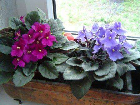 Узамбарские фиалки или сенполии, могут иметь цветы различных окрасок, а листья всегда бархатные и насыщено-зелёные