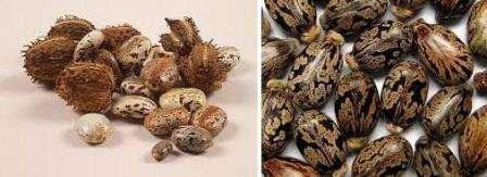 Свое название «клещевина» растение получило благодаря уникальной форме семян, которые напоминают клещей. Родина клещевины – Америка