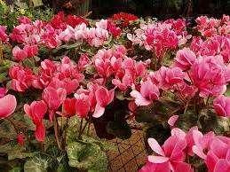 Цикламены чувствуют себя в флорариумах хорошо. Их гибриды цветут почти весь год. Цветы схожи с розовыми