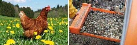 Куриный помёт как удобрение как разводить