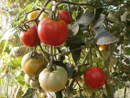 Поливать лучше всего редко, но обильно. Когда уже сформируются завязи, можете увеличить объем полива. После полива желательно открыть теплицу и взрыхлить землю. Открытая теплица откроет доступ насекомым для опыления томатов.