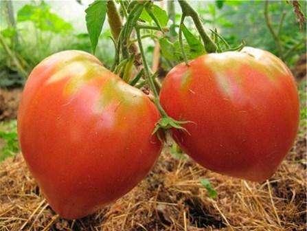 Высокие температуры воздуха – враг томатов «Розовый Мед». Как только температура на градуснике поднимается выше 35 градусов, сразу останавливается опыление, и вы можете не увидеть богатый урожай