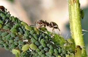 Как избавиться от муравьев на приусадебном участке. Народные методы или химия