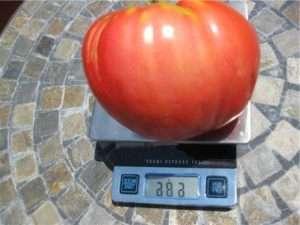 Отличительная особенность «Мазарини» в том, что плоды на первой кисти могут иметь массу до 800 гр, а на остальных кистях – до 400 гр.