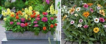 Не хотите долго возиться с рассадой циннии?</p> <p> Посев семян в открытый грунт поможет избавиться от лишних хлопот. Циния относится к тем цветам» width=»448″ height=»186″/></p></div> </p> <p>Сделайте в клумбе грядки и высеивайте семена. Не обязательно в рядок высаживать цинию, этот цветок придаст изюминку вашей клумбе, поэтому проявите фантазию и высаживайте по кругу или в шахматном порядке.</p> <p> Учитывайте, что у циннии есть много сортов, одни из которых низкорослые, а другие – высокорослые.</p> <p>Высеиваются семена на глубину около 1 см, на расстоянии 10 см друг от друга.</p> <p> После того как появятся первые всходы, проредите цветы и пересадите вырванные ростки в другое место клумбы.</p> <p><div style=