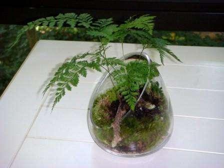 Папоротник, мох, солейройлия и селагинелла, прекрасно растут во влажном флорариуме. Одними из самых распространённых папоротников,
