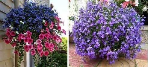 Полив цветка лобелии должен быть умеренным.</p> <p> Избегайте пересыхания почвы и в то же время следите, чтоб она не была сильно влажной, иначе появятся грибковые заболевания у вашего цветка. В открытый грунт лобелию высаживают в середине мая. » width=»494″ height=»224″/></p></div> </p> <p>Цветет лобелия с весны до самых заморозков, поэтому станет настоящим украшением вашего дачного участка.</p> <p> Если на следующий год вы снова захотите посадить лобелию, то после окончания сезона, выкопайте куст с клумбы, посадите в горшок и ухаживайте за цветком в домашних условиях.</p> </div> <div class=