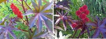 Клещевина: выращивание из семян, когда сажать