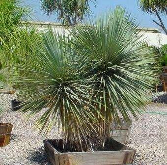 Пальма юкка фото