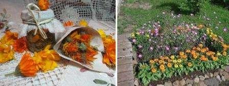 Хотя от календулы много пользы, не забывайте, что она может размножиться самопосевом и заполнить большую часть участка. Вовремя собирайте семена календулы, чтобы посеять ее в том месте, где вам удобно.