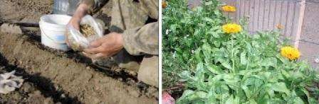 Посев семян на рассаду календулы провести нужно немного раньше, примерно в начале или середине марта.</p> <p> Для этого вам пригодятся ящики или горшочки. Землю можно использовать покупную для цветущих растений или обычную, добавив в нее перегной и питательные вещества» width=»448″ height=»147″/></p></div> </p> <p>Хотя календула – светолюбивый цветок, жару и засуху она переносит плохо. Неправильно подобранное место приведет к тому, что цветки и у календулы будут мелкими, а период цветения достаточно короткий.</p> <p> Лучше всего выбрать уголок на даче в тени для высадки этого яркого цветка.</p> <p>Как ухаживать за календулой?</p> <p> Регулярно взрыхляйте почву и следите за ее влажностью. Календула не любит засуху, поэтому в жаркое лето ее придется поливать около трех раз в неделю.</p> <p> Бутоны, которые уже отцвели нужно сразу срывать, чтобы продлить период цветения.</p> <p> Выбрасывать их не обязательно, можете высушить и использовать в качестве лекарственного средства.</p> <p>Мучнистая роса или пятнистости – распространенные заболевания календулы.</p> <p> Предотвратить их появление можно, если до начала цветения опрыскивать растение специальными растворами.</p> <h3>Польза календулы на даче</h3> <p>Многие считают, что календула используется только в лекарственных целях, поэтому высаживают ее в небольших количествах в клумбе. На самом деле календула может быть настоящей спасительницей лука, чеснока и астры.</p> <p> Оказывается, этот цветок способен привлекать насекомых, которые оказывают пользу другим культурам.</p> <p><div style=