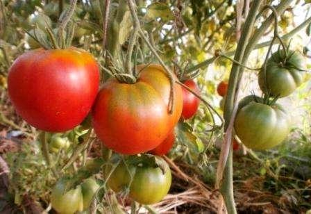 Хорошие вкусовые качества. Если вы любите ароматные помидоры, то этот сорт для вас. Несколько раз томат Космонавт Волков
