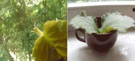 Теперь осталось укоренить растение. Для этого листик помещают в стакан с водой, в которую добавляют таблетку активированного угля.