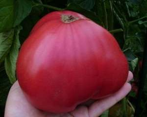 Томат Розовый мед: характеристика и описание сорта. Фото