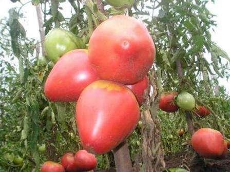 Этот сорт не является гибридным, поэтому вы можете собрать семена для выращивания их на будущее. «Розовый Мед» - это помидор, который подходит для тепличного выращивания и для открытого грунта.