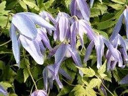 Артагена Франки. Клематис, устойчив к морозам, окраска цветов синяя с белой серединой, лепестки направлены вниз.