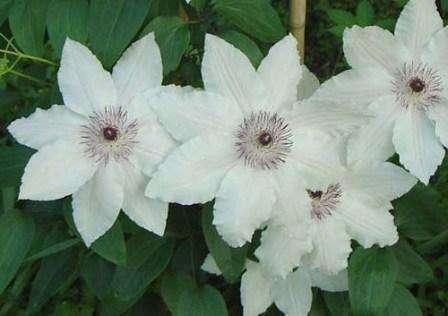 Клематис Ланугиноза кустарникового типа с цветами белого, голубого и розового цвета, которые в диаметре достигают размера до 20 см.