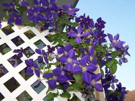 Сорт Жакмана получили путем скрещивания двух других сортов, благодаря чему получился цветок с побегами до 6