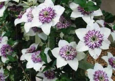 Цветистый клематис Флорида относится к деревянистому сорту растения и достигает в высоту более 3 метров.