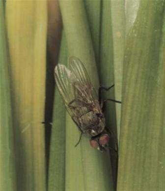 ти личинки приводят к тому, что листья растения увядают, а луковица начинает гнить изнутри. По размеру личинки небольшие и гладкие. Белых червяков вы найдете как рядом с луком, так и в самой луковице.