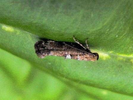Луковая моль – еще один вредитель, который способствует желтизне луковых перьев. Огромный вред насекомое наносит в жаркую погоду.