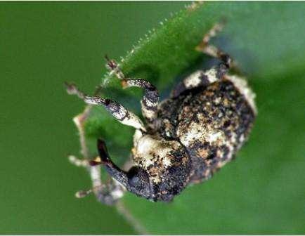Луковый скрытнохоботник – еще один известный вредитель, которые поедает листья растения. Он выедает в мякоти вдоль канавы,