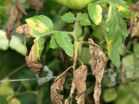 Фитофтороз – это самый распространенный вид заболеваний томатов, который губит большую часть урожая ежегодно. Важно регулярно проводить профилактические работы, чтобы защитить растения от грибных спор.