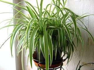 Хлорофитум фото польза для дома. Родина растения