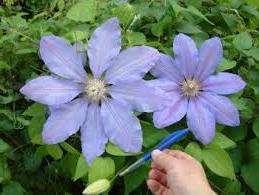 Lawsoniana с красивыми бутонами, которые направлены вверх, цветки фиолетовые и имеют темную полоску в центре.