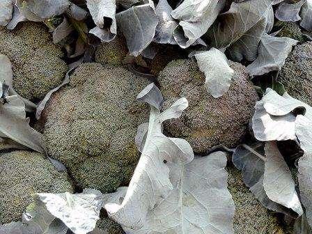 Высаживать рассаду брокколи в открытый грунт стоит в теплые дни. Если вы хотите стазу вырастить брокколи из семян