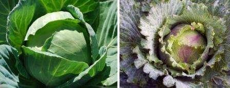 Важно помнить, что капуста нуждается в регулярном поливе и уходе.</p> <p> Первые две недели после посадки капусту поливают каждые 3-4 дня. Следите, чтобы вода не была слишком холодной и ее количество не превышало 8 » width=»448″ height=»173″/></p></div> </p> <p>За счет роста и увеличения количества листьев, капуста требует больше влаги, поэтому со временем полив нужно сделать более обильным.</p> <p> В период развития кочанов, объем воды для полива на одно растение придется увеличить до 4 литров.</p> <p><div style=