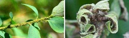 Вред, который наносит тля плодовым деревьям многие садоводы и дачники недооценивают.</p> <p> Насекомое прокалывает листья и высасывает сок, в результате ткани деформируются и отмирают. Из организма тли выводятся избытки вод» width=»448″ height=»133″/></p></div> </p> <p>Даже неопытные садоводы смогут определить, что растение поражено тлей:</p> <ol> <li>Внизу листочков или на молодых росточках видны группы зеленой или черной тли.</li> <li>Среди других насекомых возле растения находятся белые чешуйки тли, которые насекомое сбросило.</li> <li>Листья и цветы покрыты липки веществом.</li> <li>Листья скучиваются и потом засыхают, полностью не распустившись. Происходит увядание цветов.</li> </ol> <h2>Народные методы борьбы от тли</h2> <p>Если вы хотите обработать овощные культуры или цветы экологически безопасными средствами, то попробуйте использовать следующие народные методы.</p> <p><ol> <em>Раствор мыла</em>.</p> <p> Натрите обычное хозяйственное мыло на терке и растворите его в воде в соотношении 0,3 кг мыла на ведро.</ol> </p> <p><div style=