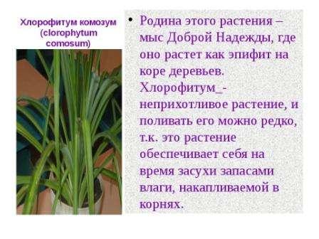 Южная Америка является родиной этого растения. В 19 веке хлорофитум стал известен в Европе. Когда хлорофитум становится взрослым растением, он достигает примерно до 50 см