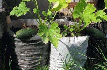 Если хотите собрать богатый урожай кабачков, то не забывайте их регулярно поливать. Делать это нужно два раза в неделю, а при отсутствии осадков и все три раза.