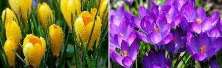 Крокусы любят много света, поэтому высаживайте их в солнечных местах. Не стоит обильно поливать эти первоцветы, чтобы не вызвать гниение клубней и не спровоцировать размножение бактерий.