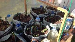 Семена кабачков перед высадкой замачивают в воде, чтобы они лучше проросли. Если на улице прохладно, накройте высаженные семена обрезанной пластиковой бутылкой.