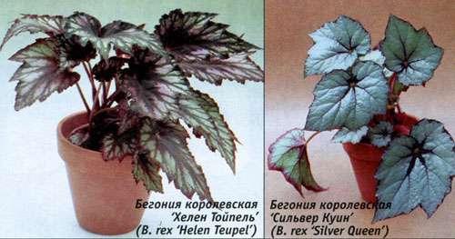 Зимой растение лучше вынести на утеплённую лоджию, либо балкон, где температура не превышает 16 градусов.</p> <p> На балконе или лоджии цветок ставится в отдалении от окон. При нехватке тепла корням, они постепенно приводят растение к засыханию.» width=»500″ height=»263″/></p></div> </p> <p><em>Полив</em> должен быть умеренным, так как избыток и нехватка влаги вредят бегонии.</p> <p> Полив должен осуществляться при подсыхании верхнего слоя почвы в горшке, воды нужно лить достаточно, но чтобы она не скапливалась в поддоне.</p> <p> Опрыскивать не нужно. <br/>Для увлажнения можно рядом разместить ёмкость с водой или в поддон горшка, где растёт бегония насыпать слой керамзита.</p> <p><div style=