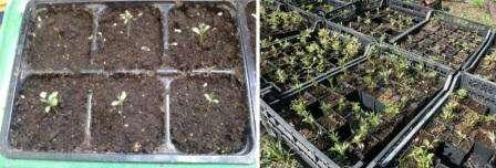 Клематисы из семян посадка и уход