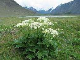 Хотя это растение относится к однолетним, на участке оно может появляться ежегодно. Все дело в том, что его семена быстро разлетаются. Борщевик самоопыляется, поэтому количество растений будет постоянно увеличиваться. Еще одна особенность этого сорняка в том, что за сутки он может вырасти на 10 см.