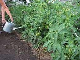 Использование йода в качестве подкормки томатов  Через две недели после высадки рассады помидор в теплицу, вы можете попробовать удобрить кустики раствором йода.