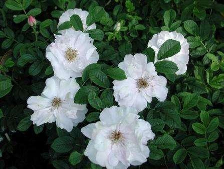 Этот сорт канадской розы придется по душе любителям белых цветов. Размер куста Генри Хадсон составляет до 1.5 м при ширине до 1.25 м. Роза о