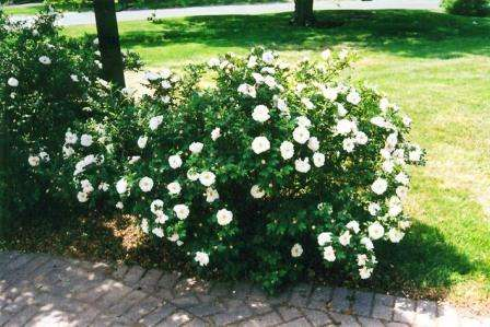 Смотрите фото куста канадской розы Генри Хадсон