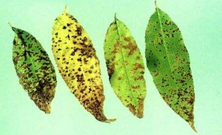 Сложно не заметить красные точечки на вишне, из-за которых со временем листок желтеет и опадает. На нижней части листка иногда образуется налет. Активно развивается эта грибковая болезнь осенью, когда сыро и много опавшей листвы.