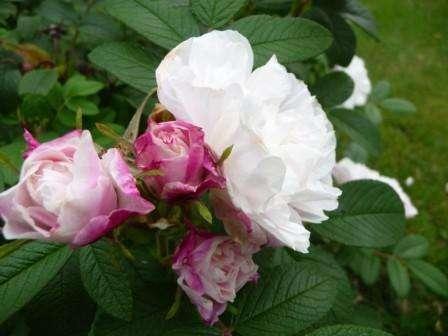 Еще один вид канадской розы белого цвета - Луиз Банье. Согласно описанию от селекционеров, этот сорт имеет крупные цветы,