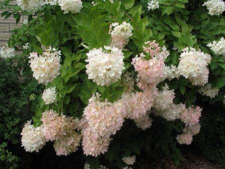 Метельчатая гортензия хорошо переносит холода и вырастает до 5 метров. Цветы могут быть красного, кремового и желтоватого цвета.